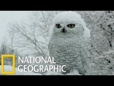 National Geographic  Documentary  Birds   Snowy Owl HD     Nat Geo Wild