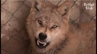 Mother Wolf Did 'This' As Her Puppy Doesn't Move Upon Birth (Part 3) | Kritter Klub