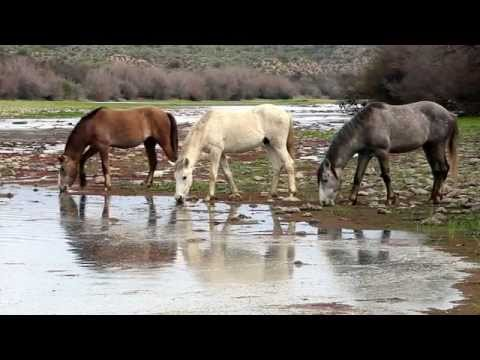 Salt River Wild Horses - Morning Grazing and Crossing the River