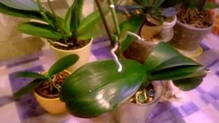 Отделение деток от материнского растения Фаленопсиса AIKO _ Размножение орхидей Фаленопсис _(Один из способов размножения орхидей Фаленопсис : Выращивание деток на цветоносе . При этом цитокининовую..., 2017-01-25T16:59:18.000Z)