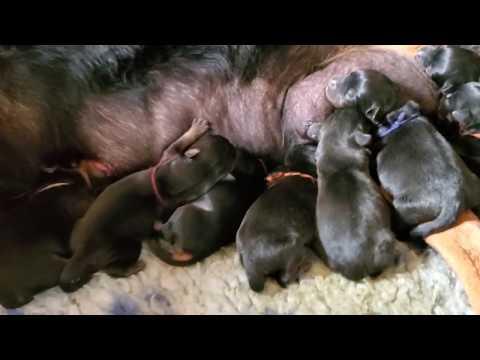Guardian Rottweilers D Litter- Dolcagabano x Rea