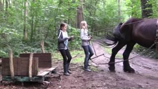 Belgian Draft Horse: a walk in the woods of Bonheiden, with draft horse Gloria
