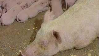 """""""Диалоги о животных"""" ретро, о свиньях-алкоголиках"""