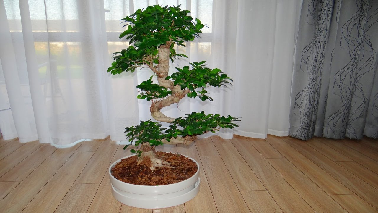 bonsai from ikea ficus microcarpa ginseng youtube. Black Bedroom Furniture Sets. Home Design Ideas