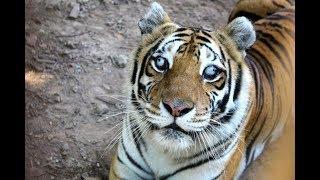 Тату Тигр на плечо!