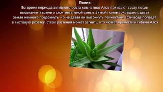 видео комнатные растения алоэ уход