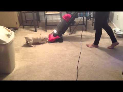 French bulldog vs vacuum