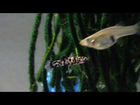 Dalmatian Mosquitofish 30 Gallon Update (Melanistic Gambusia Holbrooki)