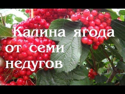 Калина красная.  Ягода от семи недугов