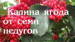 Калина красная.  Ягода от семи недугов(, 2013-11-10T05:04:05.000Z)