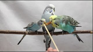 Серия 22. Будни волнистых попугаев и как  почесать попугая.