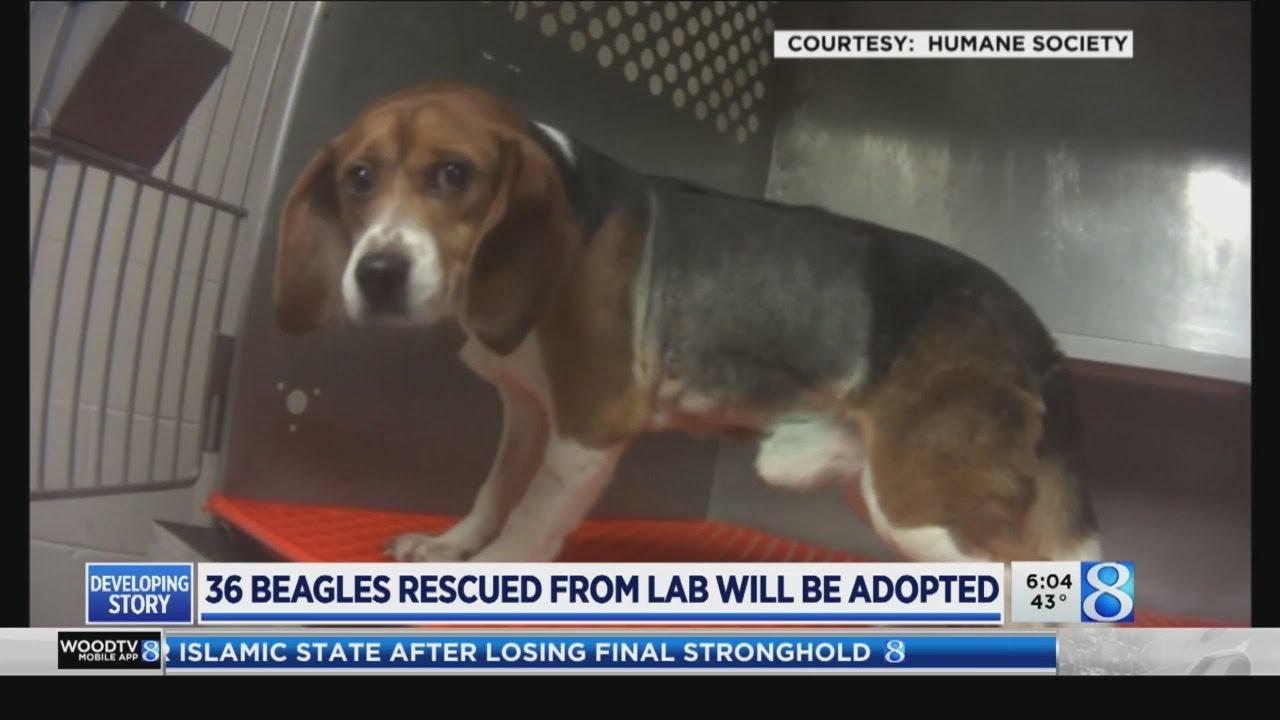 Hsus Awaits Rescue Update On Beagles Used For Testing At Mattawan