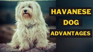 6 Best Advantages of Having a Havanese Dog 101