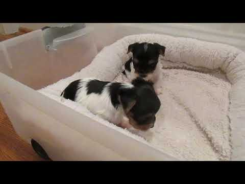 Paisley and Pistol yorkie babies