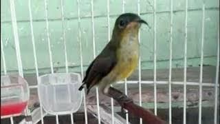 Suara kolibri ninja ijoan untuk pancingan pikat