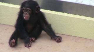 Download Video チンパンジー 双子の赤ちゃん144  Chimpanzee twin baby MP3 3GP MP4
