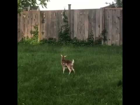 Dog and Baby Deer Play Together in the Backyard