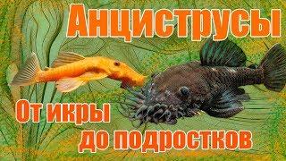 Аквариум. Аквариумные рыбы. Анциструсы.