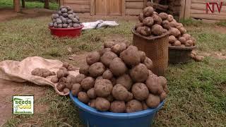 SEEDS OF GOLD: Irish Potatoes