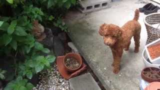 """Kio """"toy Poodle"""" 6 Months Old."""