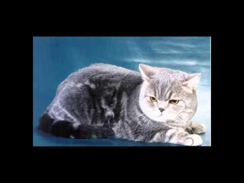 Британская кошка. Особенности породы, характер, болезни