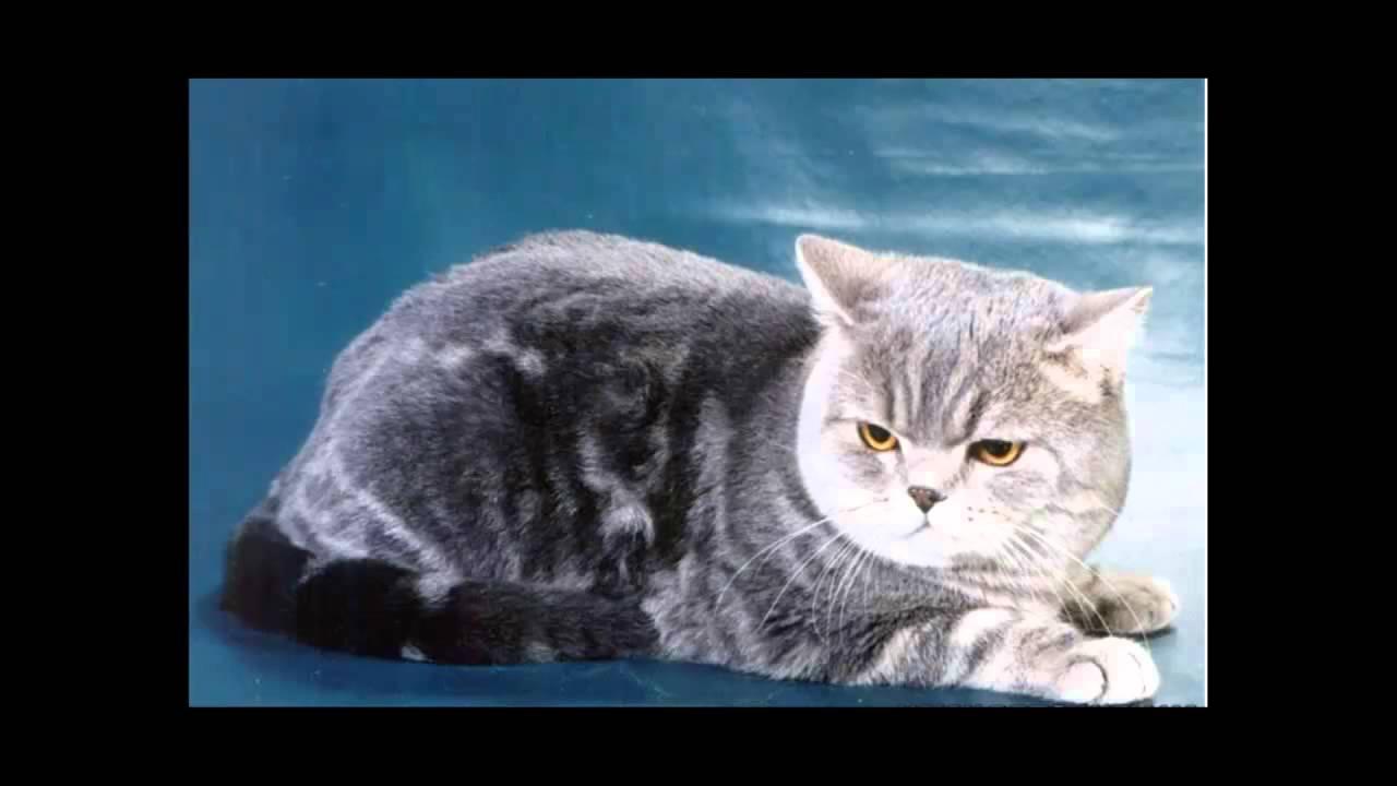 фото кошки шотландские