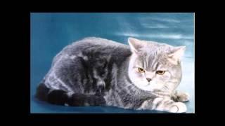 Шотландские кошки.(Прямоухие)
