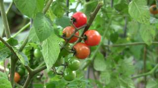Organic Gardening: How To Grow An Organic Vegetable Garden.flv