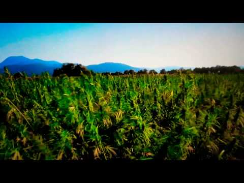 Kush Weed Commercial