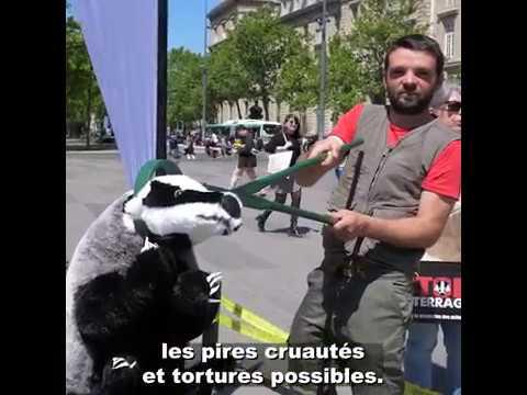 En France : le carnage du déterrage des blaireaux continue...