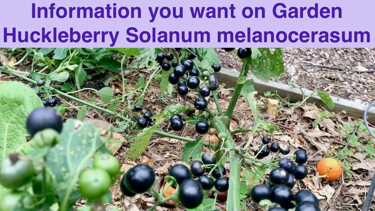 Garden Huckleberry Aka Solanum Nigrum Aka Wonder Berry Youtube