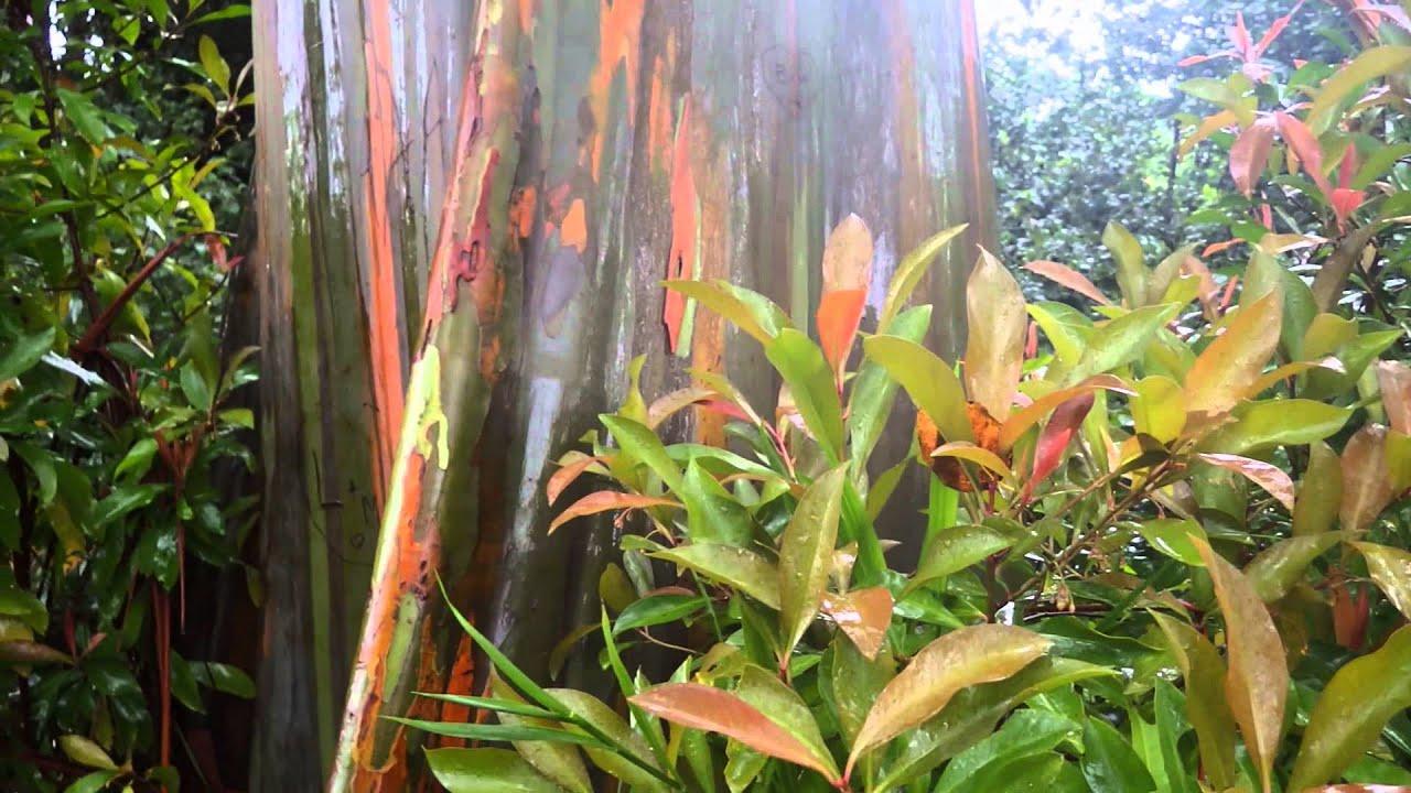 rainbow eucalyptus trees in maui youtube
