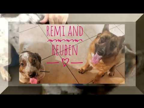 Australian Shepherd Mixes Remi and Reuben~Best Mixed Breed Trainers~Off Leash K9 Training Phoenix