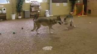 横浜からわざわざハイブリッド犬とオオカミ犬達が兄弟に会いにワイズド...
