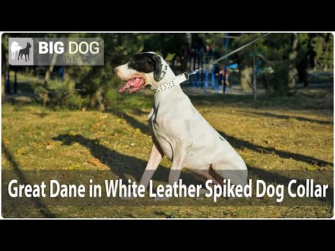 Elegant Great Dane wears White Leather Dog Collar with Spikes