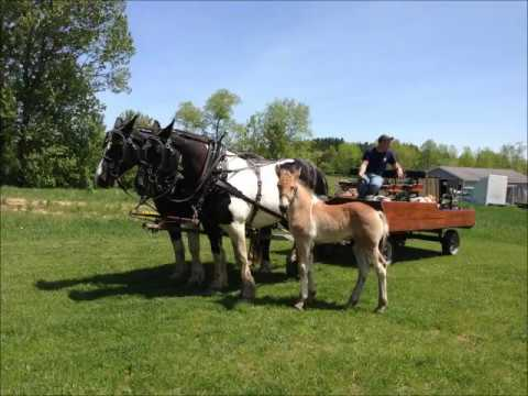spotted draft mare team for sale