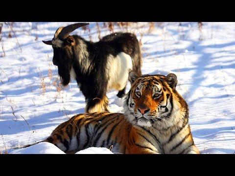 Дружба тигра и козла. Тигр Амур и козел Тимур