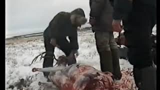 Охота в тундре на северного оленя по методу предков