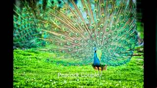 Gambar cover Peacock bird sound effects - efek suara burung merak