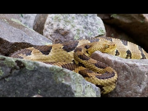 Rattlesnake Island: Mass. Officials Are Planning A Snake Colony - Newsy