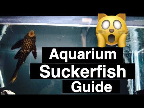 "Aquarium Pleco ""Suckerfish"" Care - Catfish To Avoid"