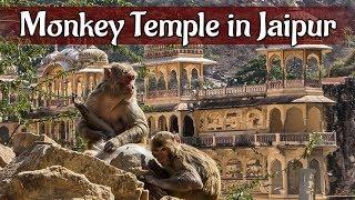 Monkey Temple in Jaipur   क्या है इस मंदिर की खासियत ?   Must Watch