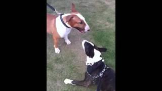 Bull Terriers Play Fighting