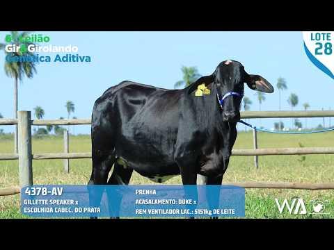 LOTE 28 - 4378 AV - 6º Leilão Gir & Girolando Genética Aditiva