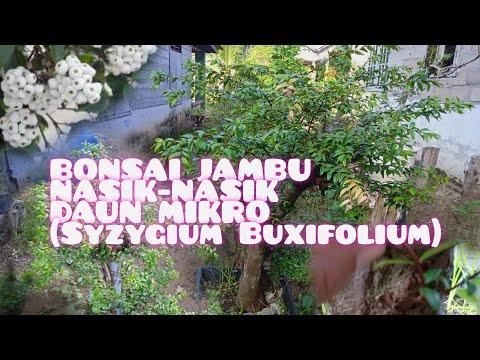 bonsai-jambu-nasik-nasik-daun-mikro-(syzygium-buxifolium)-dan-penjelasannya-sepesial-lebaran