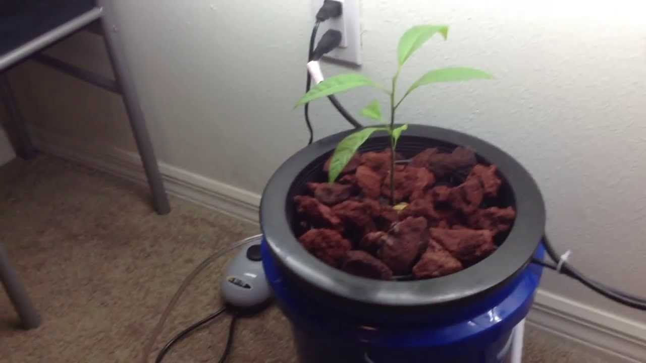 Tropical miracle: growing avocados at home