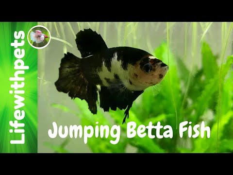 Jumping Betta Fish Live Stream.