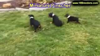 Miniature Pinscher, Puppies, For, Sale, In, Oklahoma City, Oklahoma, Ok, Warr Acres, Guthrie, Weathe