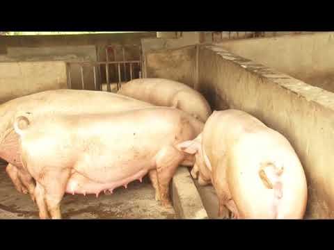 Rebranding Pig Farming in Ghana - Joy Business Van