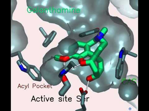 Acetylcholinesterase: A gorge-ous enzyme